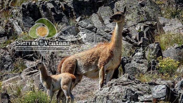 Guanacos en el Cerro Tres Picos de Sierra de la Ventana