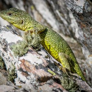 La Iguana de Cobre en Sierra de la Ventana